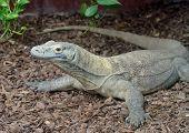 picture of komodo dragon  - Komodo dragon is large dangerous reptile looking alert - JPG
