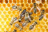stock photo of egg-laying  - Queen bee in a beehive laying eggs supported by worker bees - JPG