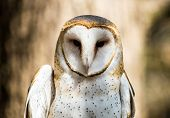 foto of snowy owl  - A Barn Owl poses for the camera at the Carolina Raptor Center - JPG