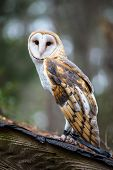 image of snowy owl  - A Barn Owl poses for the camera at the Carolina Raptor Center - JPG