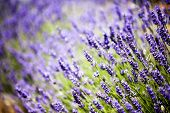 stock photo of lavender plant  - Provence typical lavender landscape - JPG