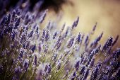 image of violet flower  - Provence typical lavender landscape - JPG