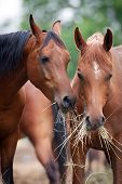 stock photo of brown horse  - Two horses eating hay - JPG