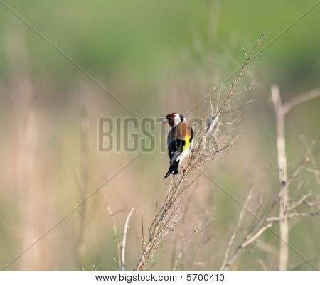 Goldfinch (carduelis)