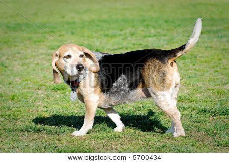 Old Beagle