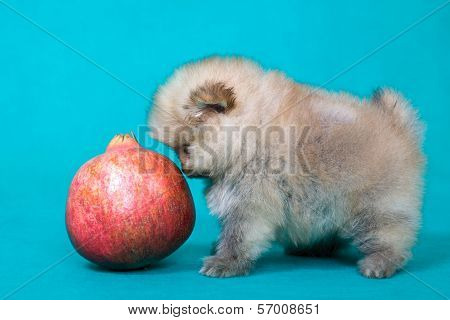 Puppy Of The Spitz-dog With Pomegranate