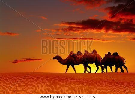 Desert Fantasy, Camels Walking