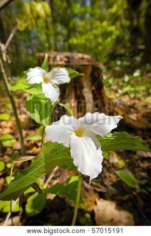 Two White Trilliums