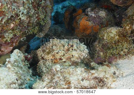 Spotted Scorpionfish Waiting To Ambush Its Prey - Bonaire