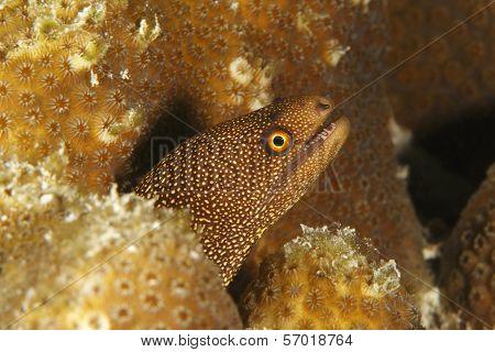 Goldentail Moray - Bonaire