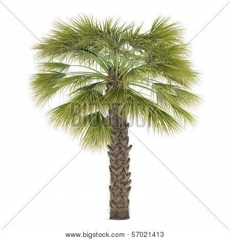 Palm tree isolated. Sabal Palmetto