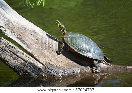 Painted Turtle Sunning