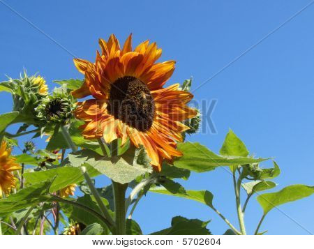 Golden Sunflower