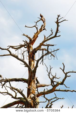Dead Branches Of An Old Bare Pine
