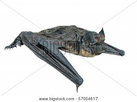 Small Bat