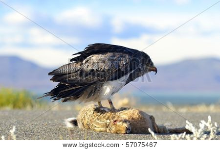 Patagonian Brown Chested Eagle Hawk