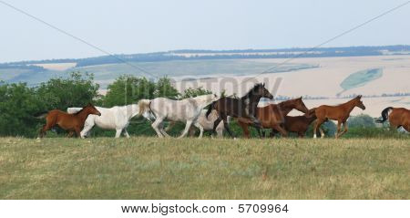 Herd Of Arabian Foals