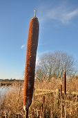 stock photo of bull rushes  - bulrush in winter with blue sky in close up - JPG