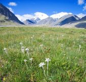 picture of edelweiss  - Lawn which are growing Edelweiss - JPG