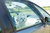 picture of maltese  - Small dog maltese sitting in a car with closed window - JPG