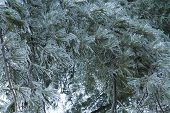 picture of freezing temperatures  - Icicles coated leaves - JPG