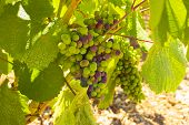 stock photo of moscato  - Vineyard - JPG