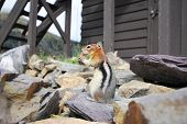 stock photo of chipmunks  - Chipmunk eating by a fire tower in Glacier National Park in Montana - JPG