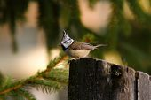 pic of tit  - european crested tit  - JPG