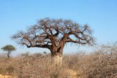 Thick baobab tree in African bush