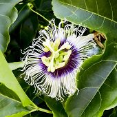 picture of passion fruit  - Passion fruit Flowers