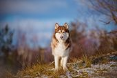 picture of husky sled dog breeds  - beautiful brown siberian husky dog portrait outdoors
