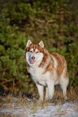 image of husky sled dog breeds  - beautiful siberian husky breed dog outdoors winter