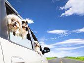 stock photo of maltese  - dog family traveling  road trip in the car - JPG