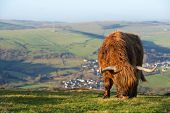 foto of highland-cattle  - Highland Cow stood eating in a field - JPG