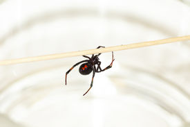 stock photo of black widow spider  - Deadly female black widow spider Latrodectus mactans with red hourglass shape underneath her abdomen - JPG