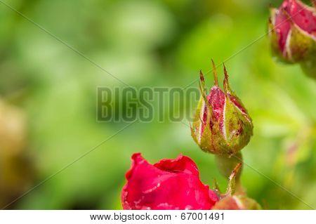 Dogrose Bud After A Rain Close Up