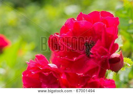 Dogrose Flower After A Rain Close Up