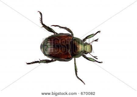 Japanische Käfer Pest - Popillia Japonica