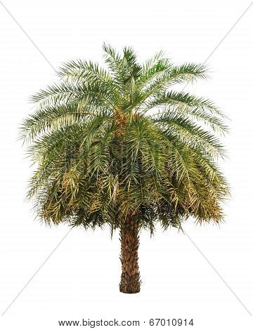 Date Palm (phoenix Dactylifera), Tropical Tree In The Northeast Of Thailand Isolated On White Backgr