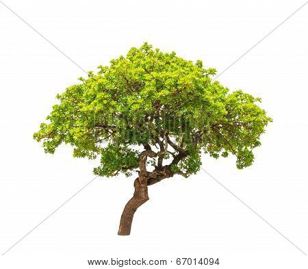 Banyan Tree (ficus Annulata), Tropical Tree In The Northeast Of Thailand Isolated On White Backgroun