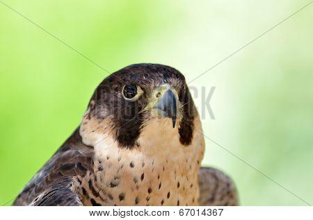 Birds Predator - Peregrine Falcon (Falco peregrinus)