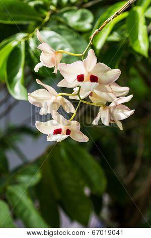 Dendrobium Pulchellum, ,orchid Flower.