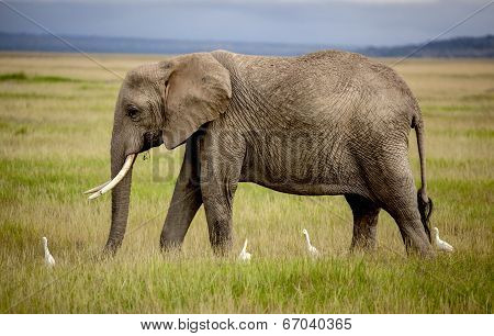 elephant walking with four cattle egrets