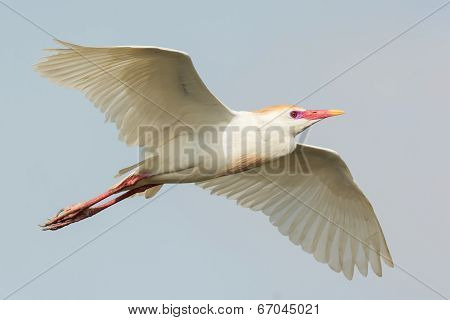 A Cattle Egret (bubulcus Ibis) With Breeding Plumage In Flight