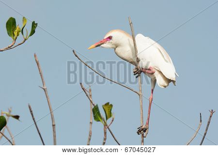 A Cattle Egret (bubulcus Ibis) With Breeding Plumage Perched In The Mangroves