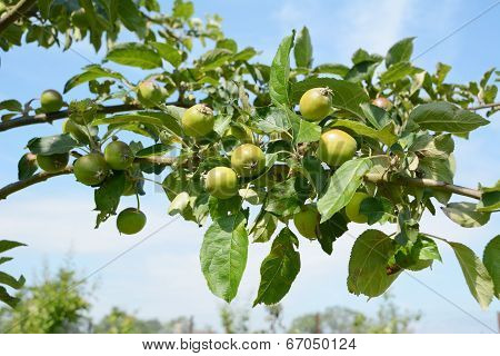 Apple Tree Branch With Fruit