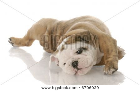 Bulldog Pup Rolling On Back