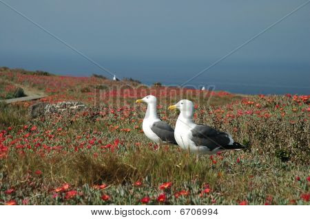 Seagulls in Ice Plant