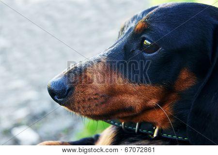 Dachshund Portrait Closeup