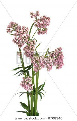 Valerian Herb In Flower
